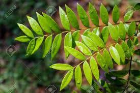 Manfaat Eurycoma Longifolia