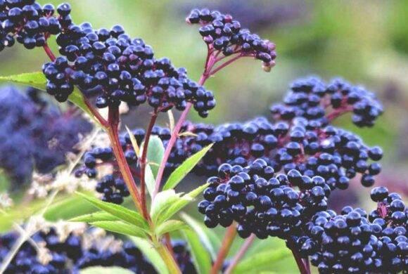 Manfaat si kecil hitam elderberry